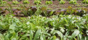Japonská listová zelenina